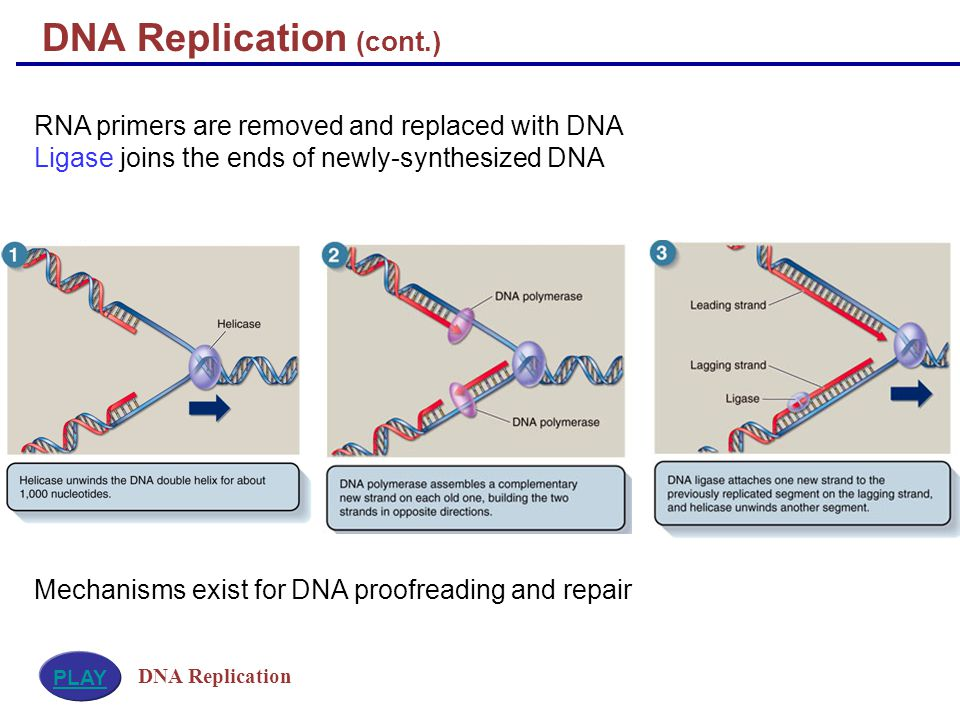 RNA primers are removed and replaced with DNA Ligase joins the ends of newly-synthesized DNA Mechanisms exist for DNA proofreading and repair DNA Replication (cont.) DNA Replication PLAY