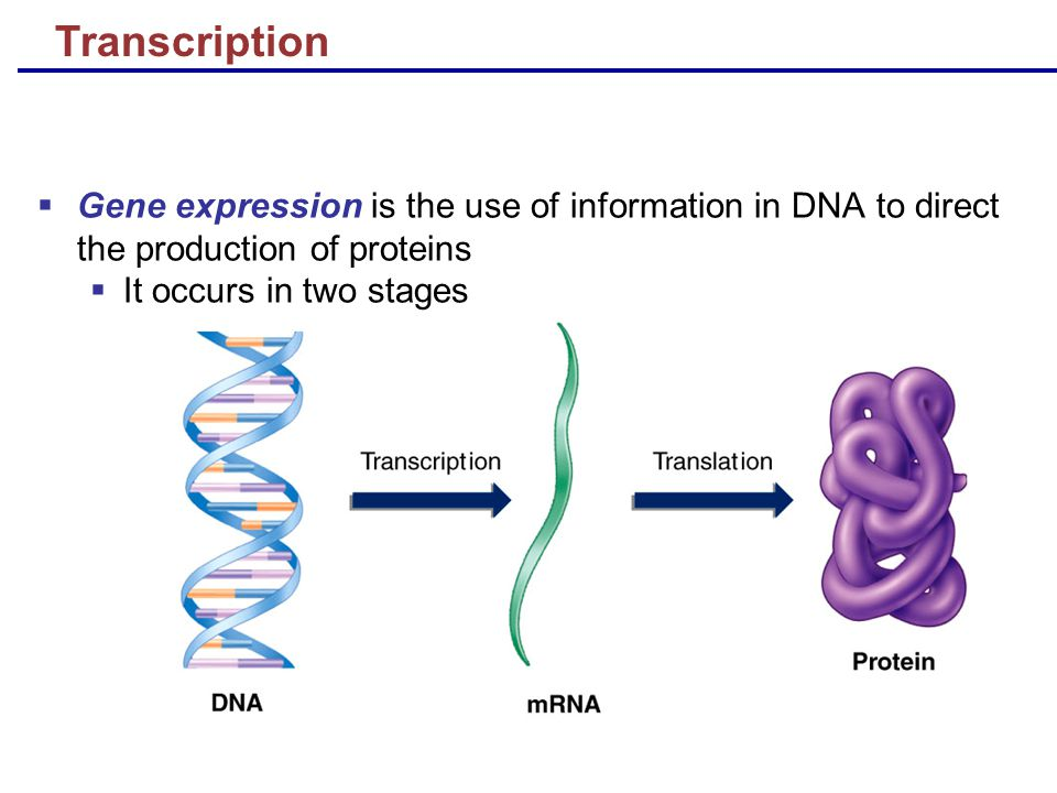 Transcription  Gene expression is the use of information in DNA to direct the production of proteins  It occurs in two stages