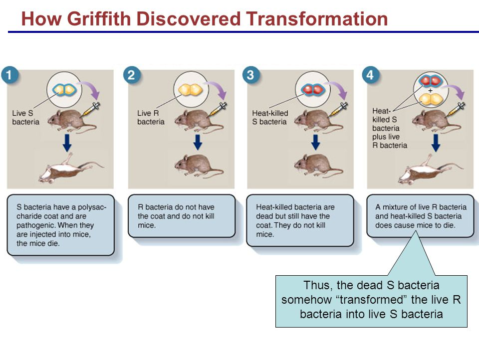 Thus, the dead S bacteria somehow transformed the live R bacteria into live S bacteria How Griffith Discovered Transformation