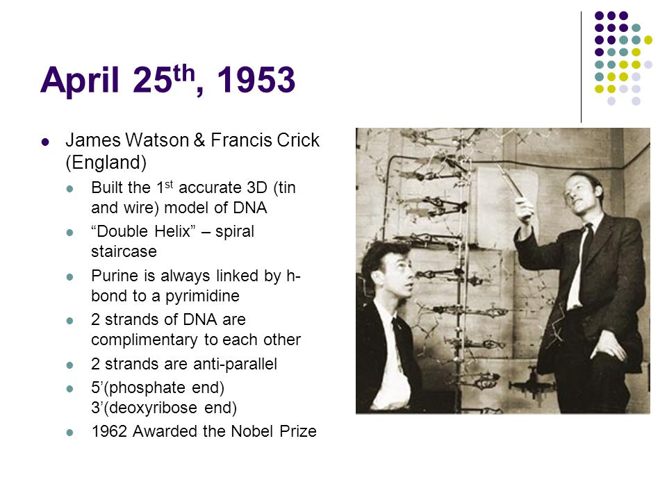 April 25 th, 1953 James Watson & Francis Crick (England) Built the 1 st accurate 3D (tin and wire) model of DNA Double Helix – spiral staircase Purine is always linked by h- bond to a pyrimidine 2 strands of DNA are complimentary to each other 2 strands are anti-parallel 5'(phosphate end) 3'(deoxyribose end) 1962 Awarded the Nobel Prize