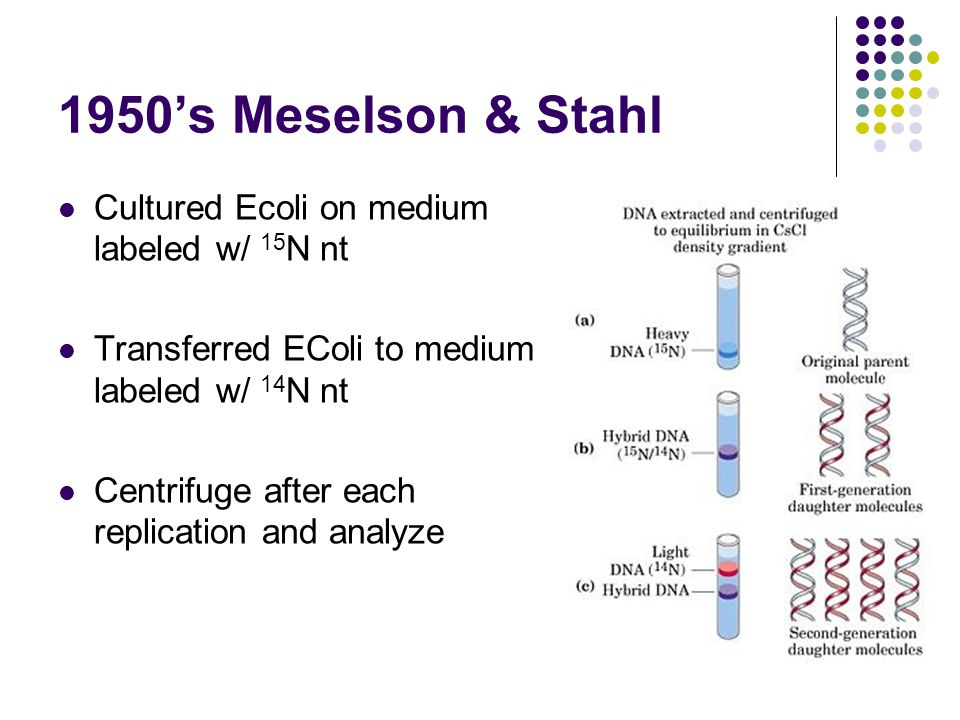 1950's Meselson & Stahl Cultured Ecoli on medium labeled w/ 15 N nt Transferred EColi to medium labeled w/ 14 N nt Centrifuge after each replication and analyze