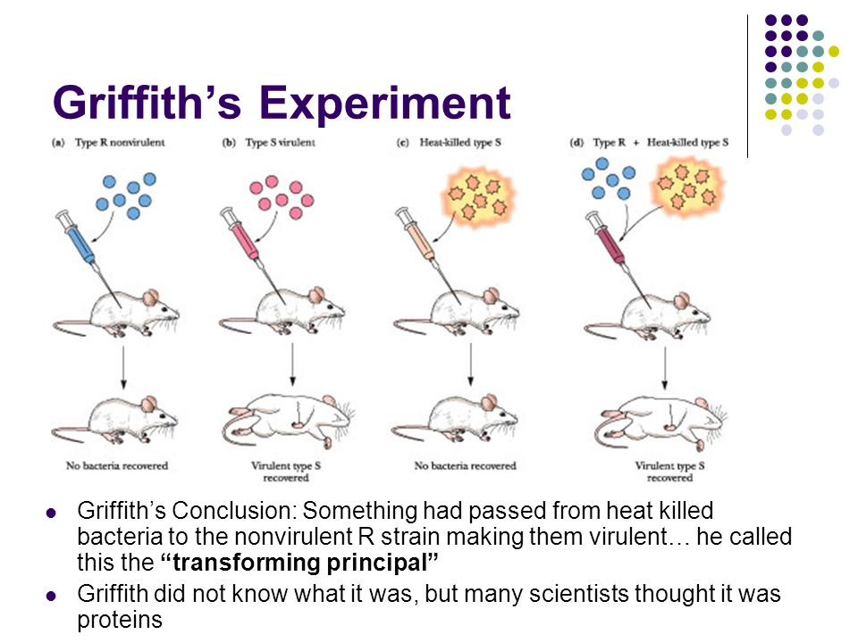 Griffith's Experiment Griffith's Conclusion: Something had passed from heat killed bacteria to the nonvirulent R strain making them virulent… he called this the transforming principal Griffith did not know what it was, but many scientists thought it was proteins