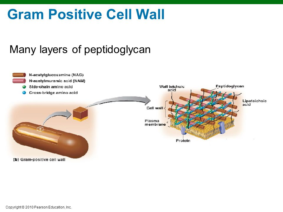 Copyright © 2010 Pearson Education, Inc. Gram Positive Cell Wall Many layers of peptidoglycan