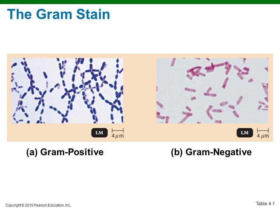 Copyright © 2010 Pearson Education, Inc. The Gram Stain Table 4.1 (a) Gram-Positive(b) Gram-Negative