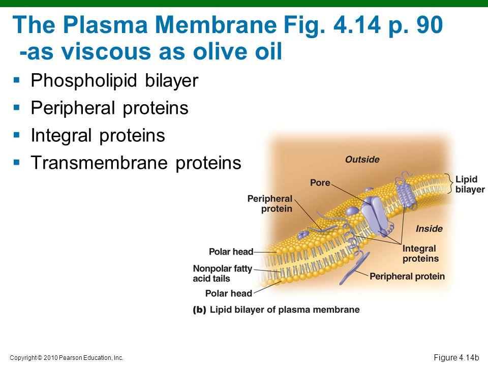 Copyright © 2010 Pearson Education, Inc. Figure 4.14b The Plasma Membrane Fig. 4.14 p. 90 -as viscous as olive oil  Phospholipid bilayer  Peripheral