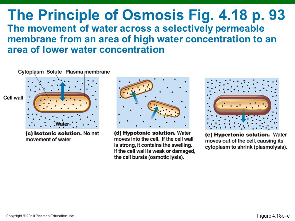Copyright © 2010 Pearson Education, Inc. Figure 4.18c–e The Principle of Osmosis Fig. 4.18 p. 93 The movement of water across a selectively permeable