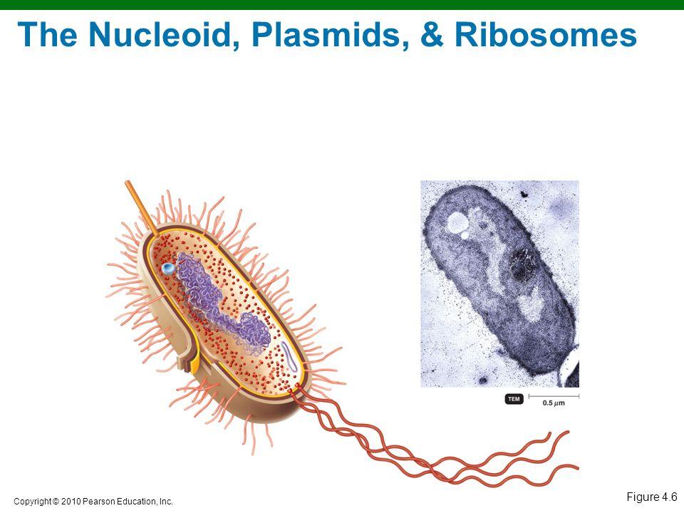 Copyright © 2010 Pearson Education, Inc. Figure 4.6 The Nucleoid, Plasmids, & Ribosomes
