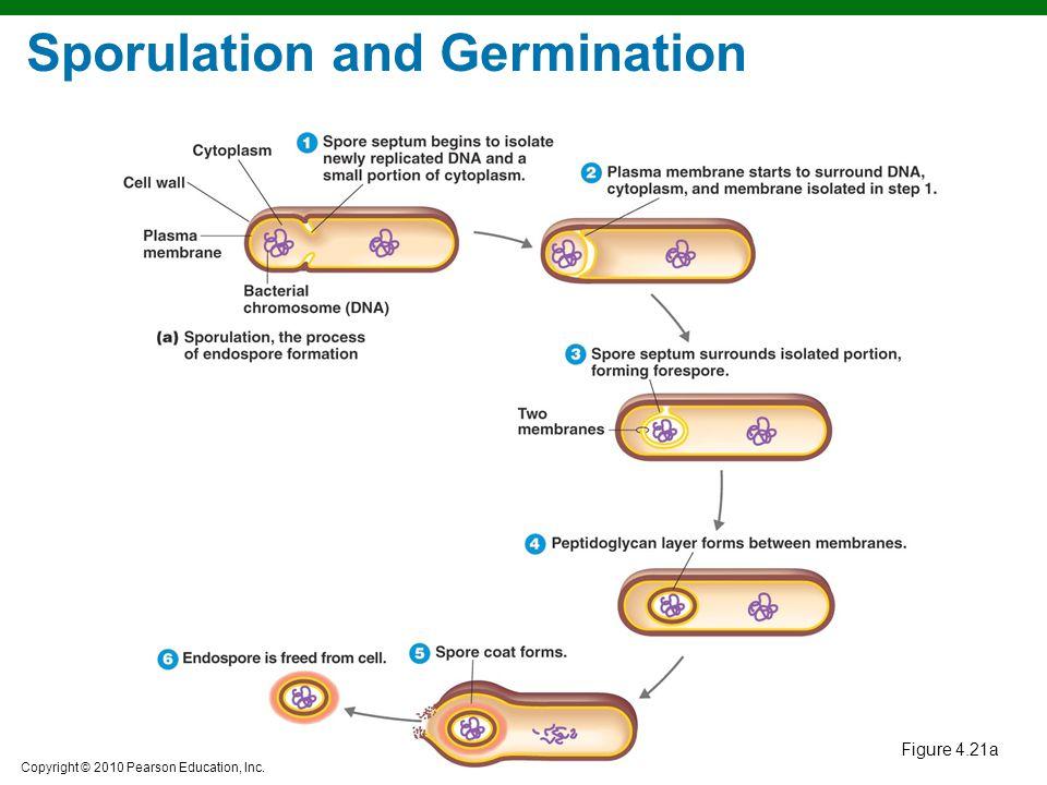Copyright © 2010 Pearson Education, Inc. Sporulation and Germination Figure 4.21a