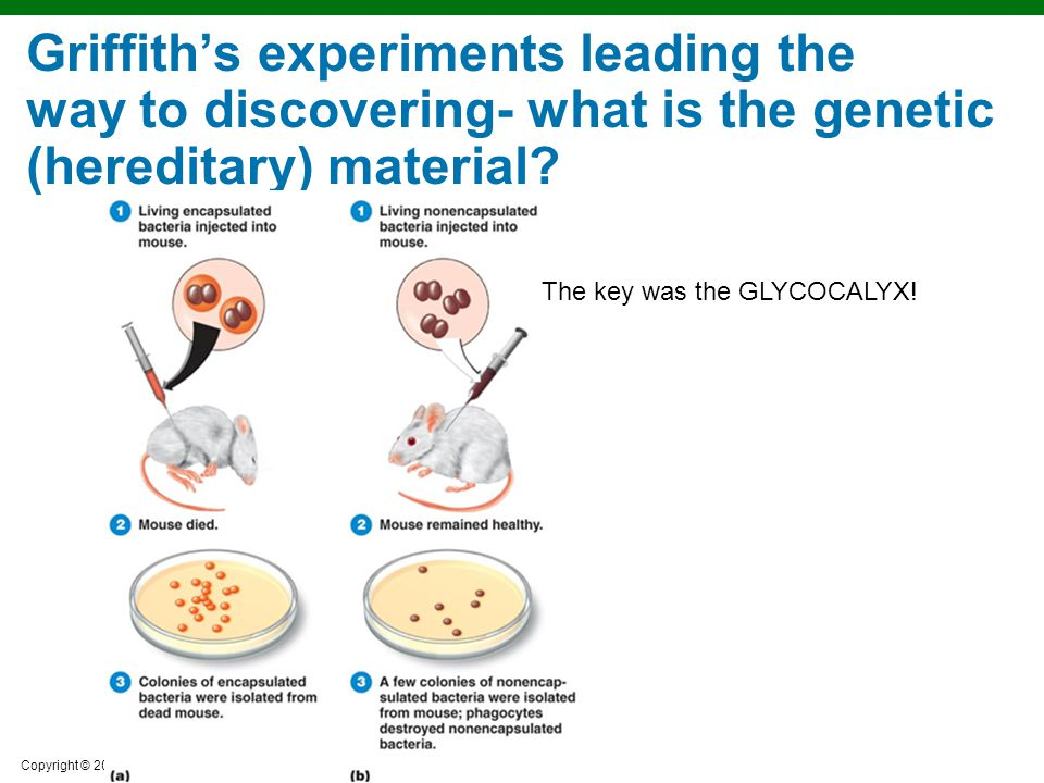 Copyright © 2010 Pearson Education, Inc. Griffith's experiments leading the way to discovering- what is the genetic (hereditary) material? The key was