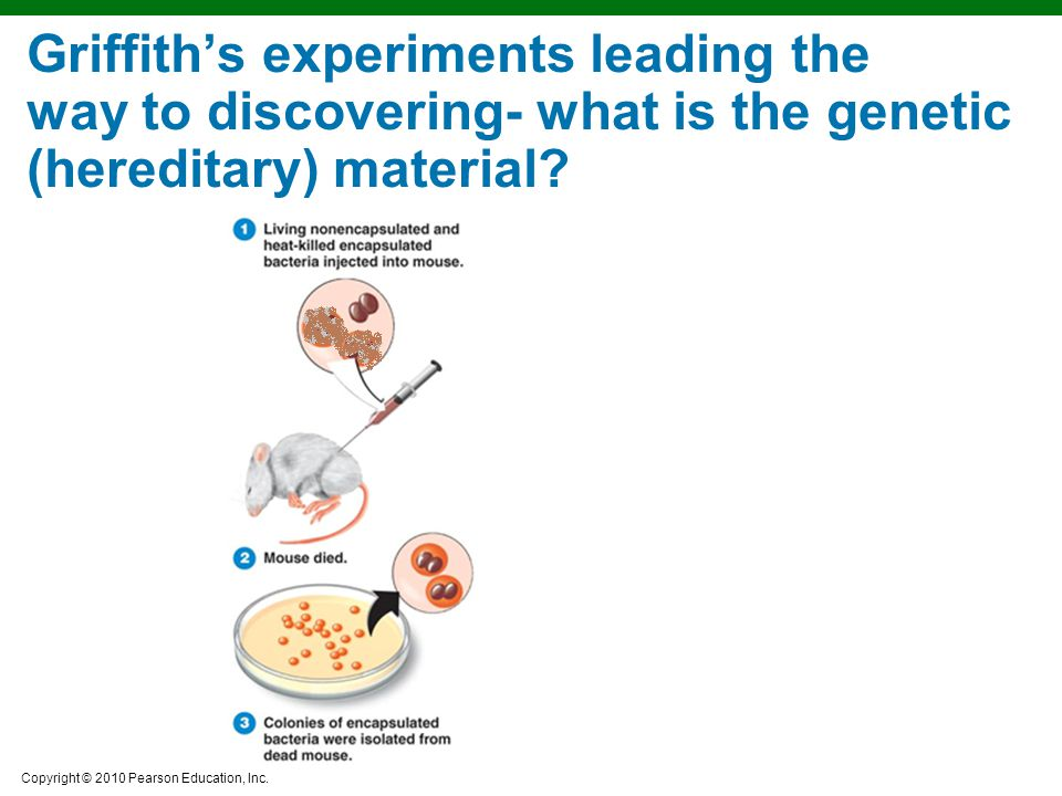 Copyright © 2010 Pearson Education, Inc. Griffith's experiments leading the way to discovering- what is the genetic (hereditary) material?