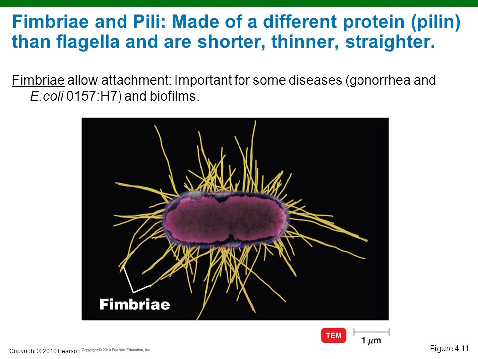 Copyright © 2010 Pearson Education, Inc. Figure 4.11 Fimbriae and Pili: Made of a different protein (pilin) than flagella and are shorter, thinner, st