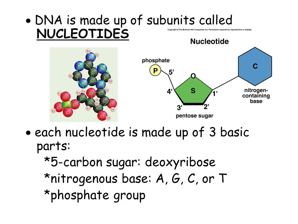  DNA is made up of subunits called NUCLEOTIDES  each nucleotide is made up of 3 basic parts: *5-carbon sugar: deoxyribose *nitrogenous base: A, G, C, or T *phosphate group
