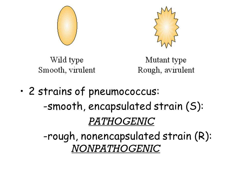 2 strains of pneumococcus: -smooth, encapsulated strain (S): PATHOGENIC -rough, nonencapsulated strain (R): NONPATHOGENIC