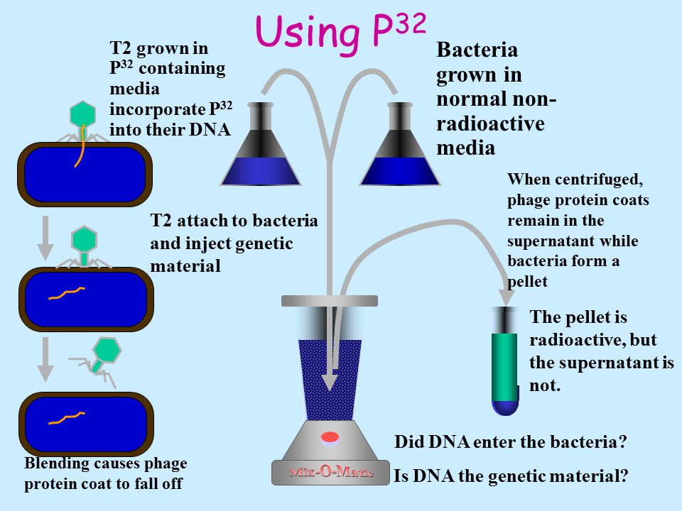 Using S 35 Bacteria grown in normal non- radioactive media T 2 grown in media containing S 35 incorporate S 35 into their proteins Blending causes phage protein coat to fall off T2 attach to bacteria and inject genetic material Is protein the genetic material.