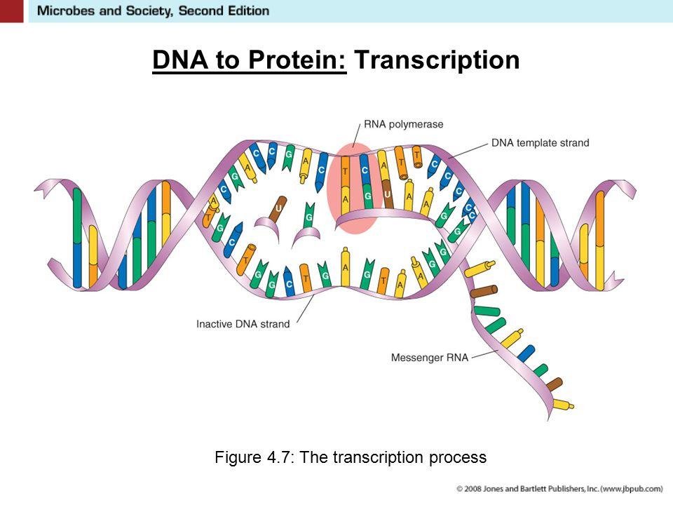 DNA to Protein: Transcription Figure 4.7: The transcription process