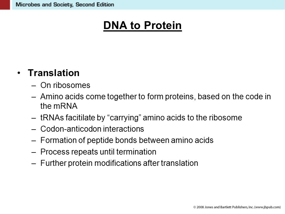 """DNA to Protein Translation –On ribosomes –Amino acids come together to form proteins, based on the code in the mRNA –tRNAs facitilate by """"carrying"""" am"""