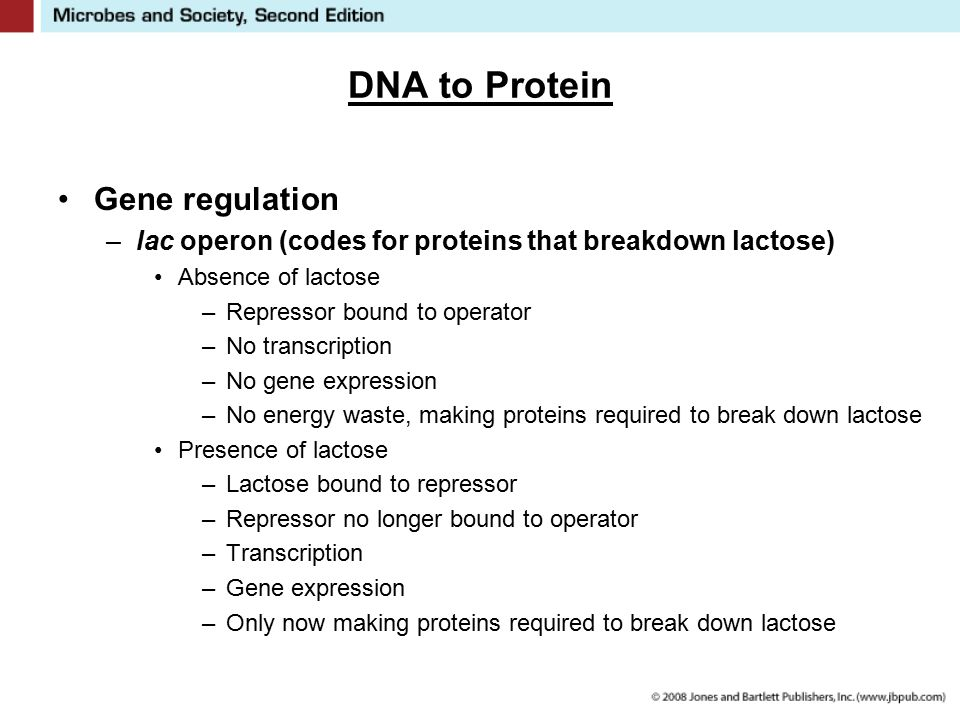 DNA to Protein Gene regulation –lac operon (codes for proteins that breakdown lactose) Absence of lactose –Repressor bound to operator –No transcripti