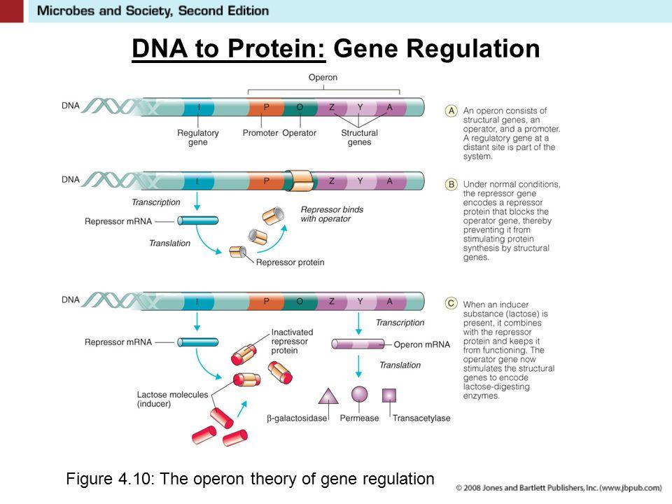DNA to Protein: Gene Regulation Figure 4.10: The operon theory of gene regulation