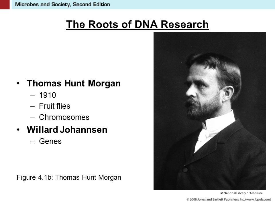 The Roots of DNA Research Thomas Hunt Morgan –1910 –Fruit flies –Chromosomes Willard Johannsen –Genes Figure 4.1b: Thomas Hunt Morgan © National Library of Medicine