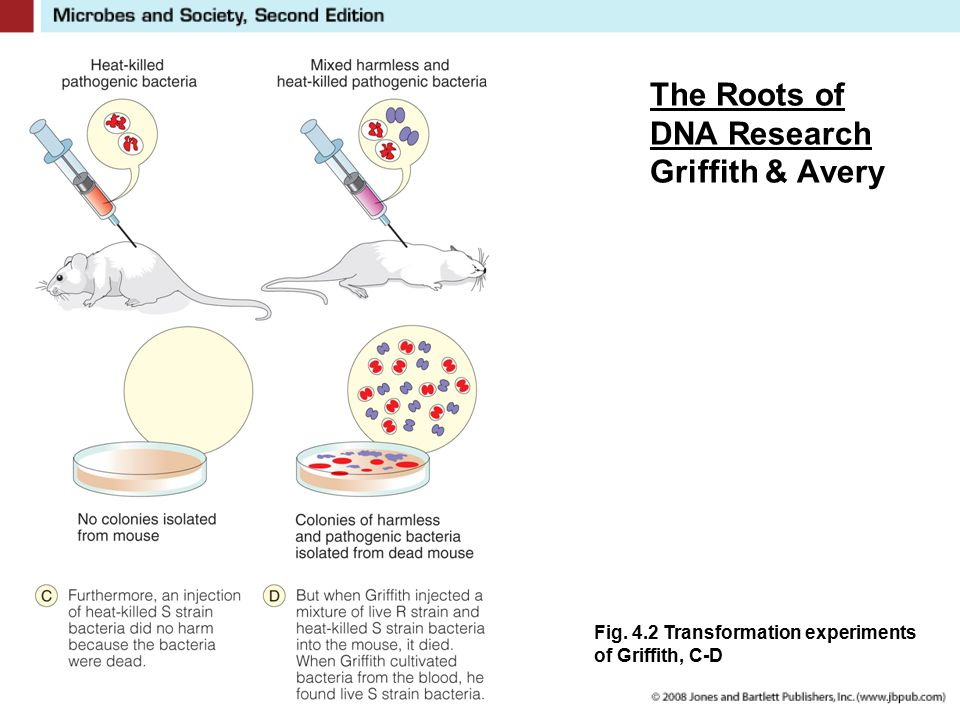 The Roots of DNA Research Griffith & Avery Fig. 4.2 Transformation experiments of Griffith, C-D