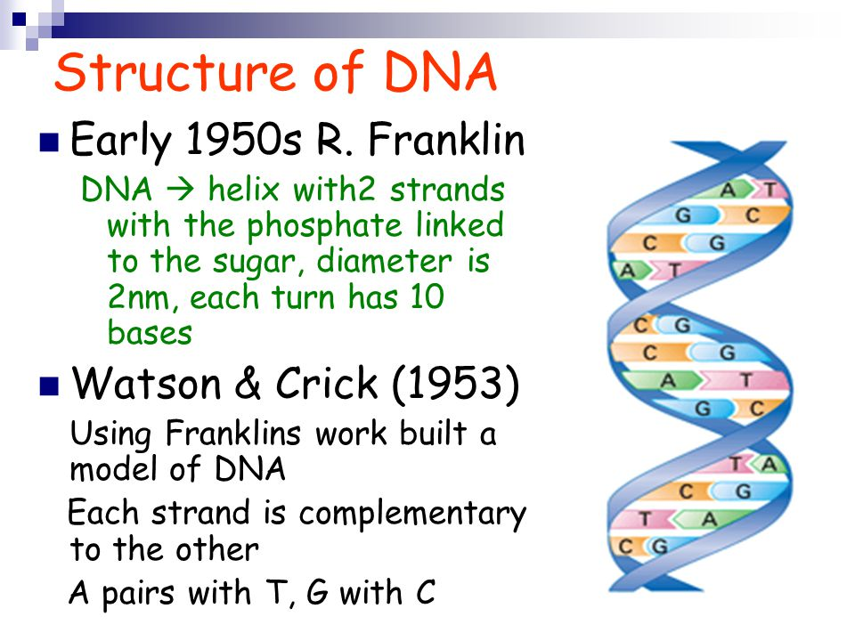 Structure of DNA Early 1950s R.