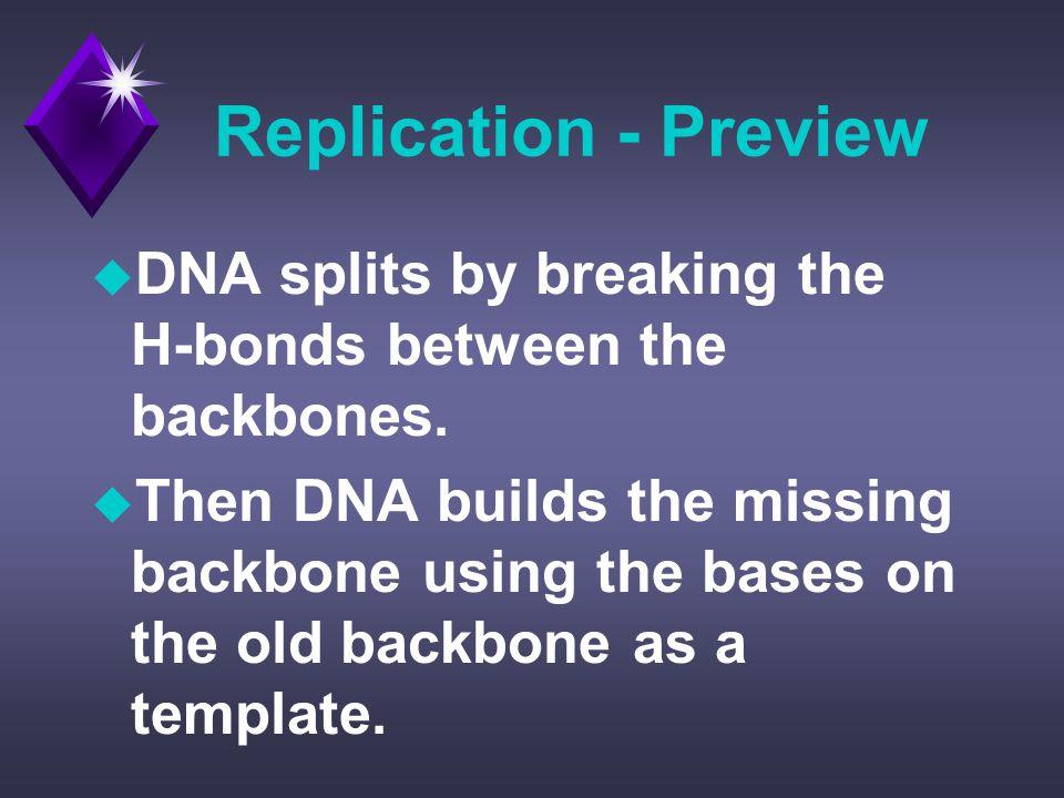 Replication - Preview u DNA splits by breaking the H-bonds between the backbones.