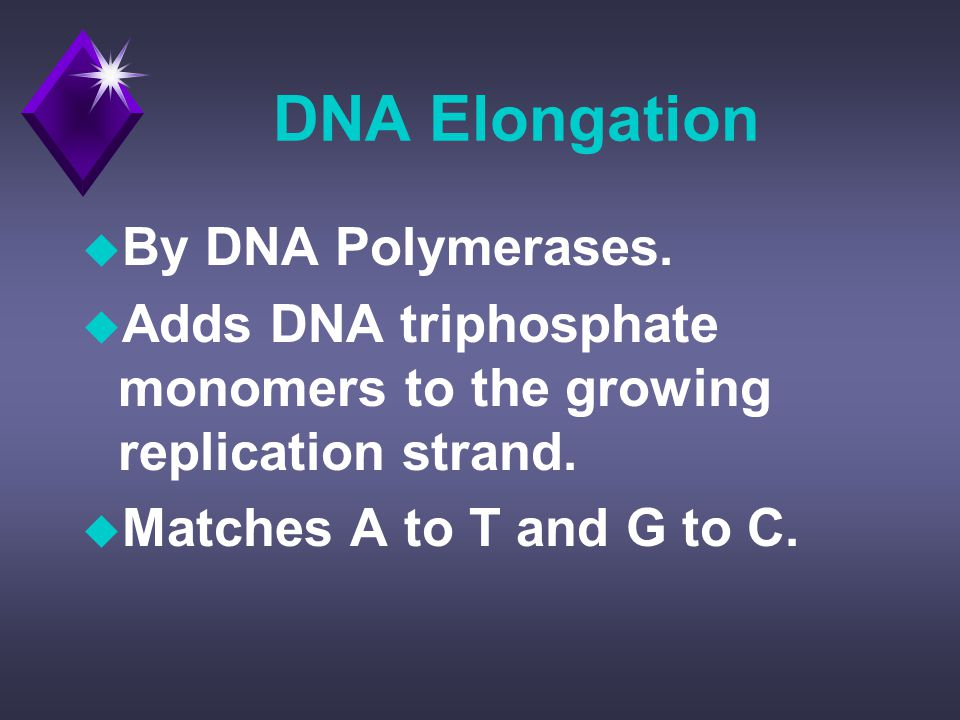 DNA Elongation u By DNA Polymerases.