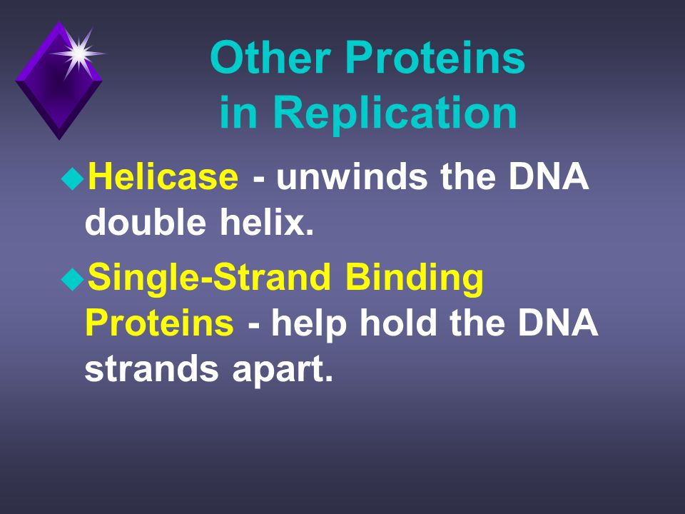 Other Proteins in Replication u Helicase - unwinds the DNA double helix.