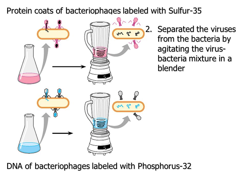Protein coats of bacteriophages labeled with Sulfur-35 DNA of bacteriophages labeled with Phosphorus-32 2.Separated the viruses from the bacteria by a