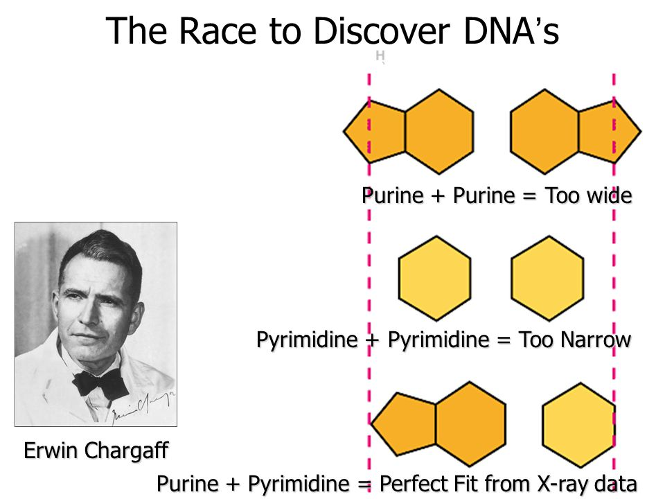 The Race to Discover DNA's Structure 1950 Chargaff's Rule: Equal amounts of Adenine and Thymine, and equal amounts of Guanine and Cytosine Erwin Chargaff Why do you think the bases match up this way.