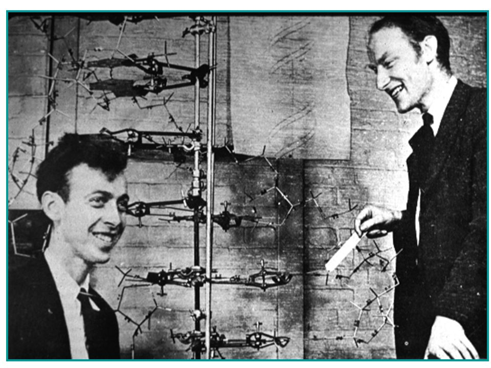 The Race to Discover DNA's Structure James Watson Francis Crick 1953 Compiled data from previous scientists to build a double-helical model of DNA