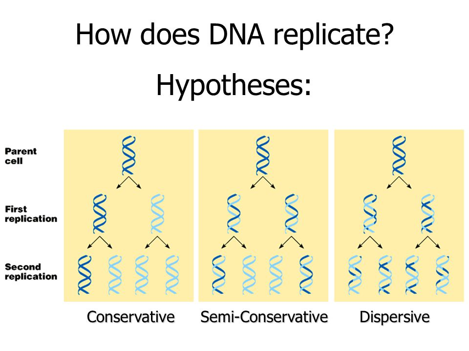How does DNA replicate ConservativeSemi-ConservativeDispersive Hypotheses: