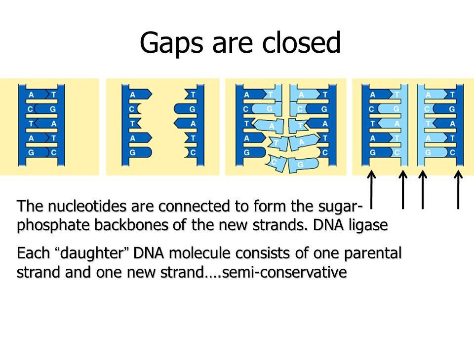Gaps are closed The nucleotides are connected to form the sugar- phosphate backbones of the new strands.