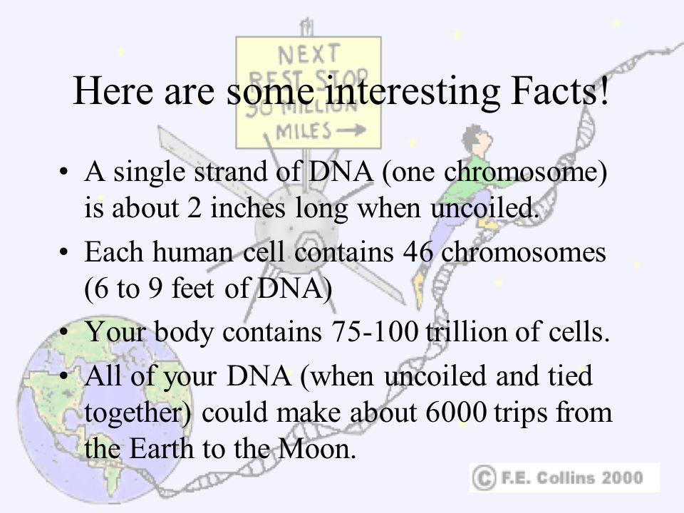 Here are some interesting Facts! A single strand of DNA (one chromosome) is about 2 inches long when uncoiled. Each human cell contains 46 chromosomes