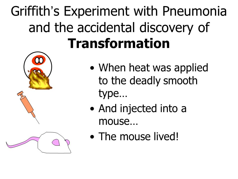 Griffith's Experiment with Pneumonia and the accidental discovery of Transformation When heat was applied to the deadly smooth type… And injected into