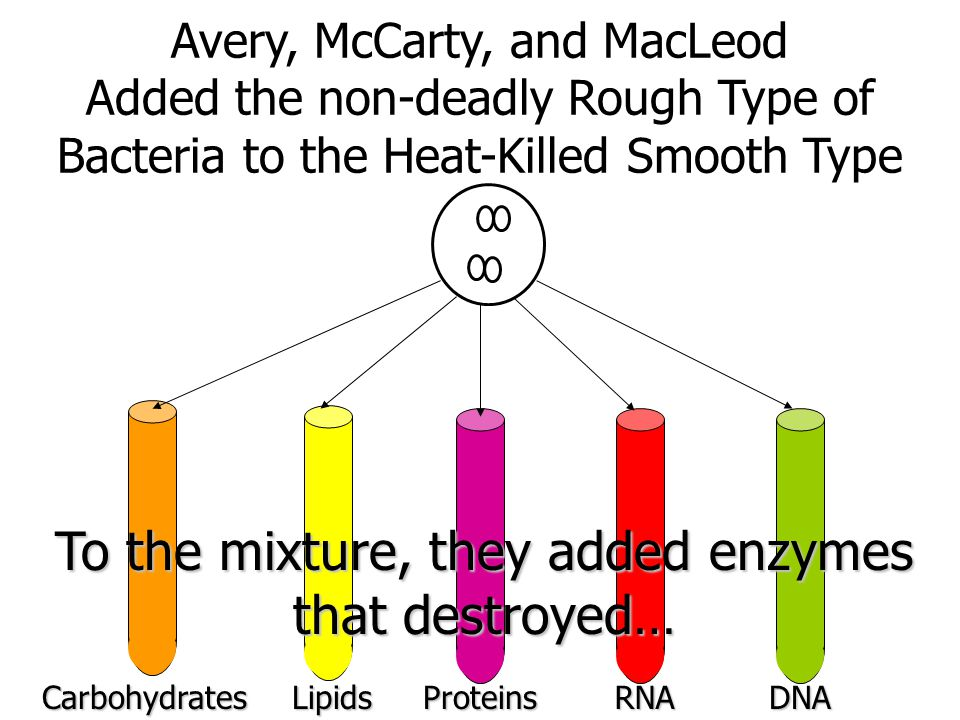 Avery, McCarty, and MacLeod Added the non-deadly Rough Type of Bacteria to the Heat-Killed Smooth TypeCarbohydratesLipidsProteinsRNADNA To the mixture, they added enzymes that destroyed…