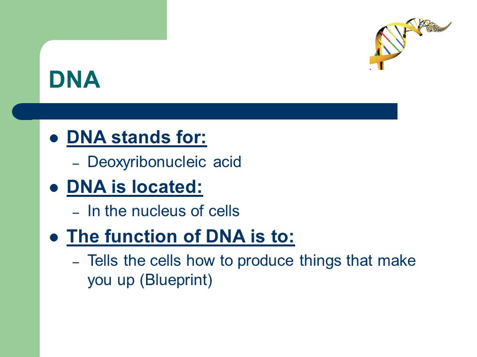 DNA DNA stands for: – Deoxyribonucleic acid DNA is located: – In the nucleus of cells The function of DNA is to: – Tells the cells how to produce things that make you up (Blueprint)