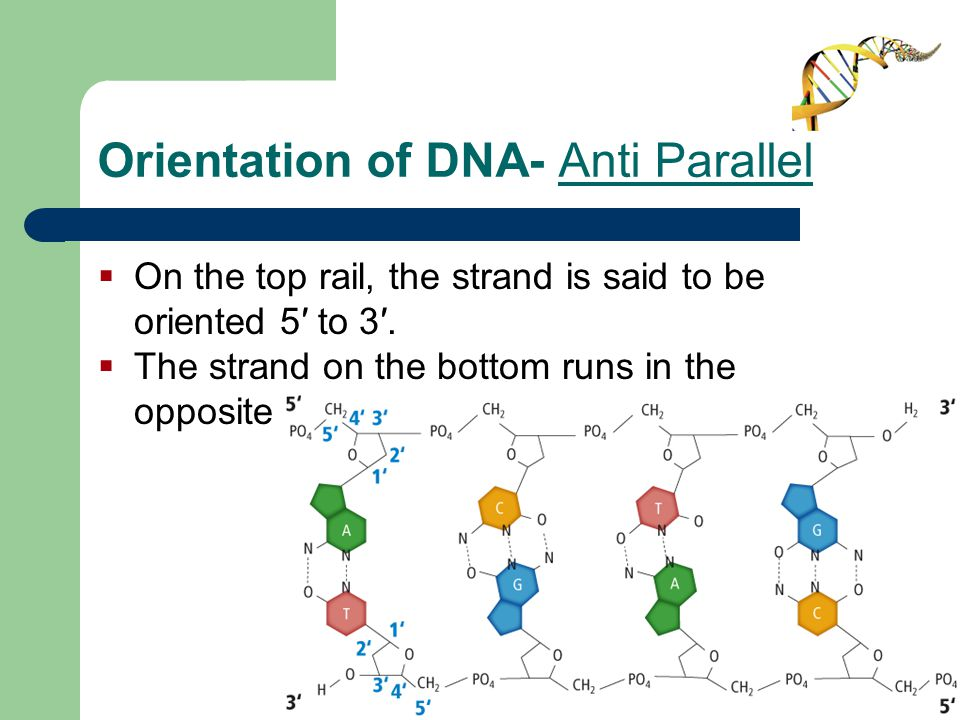 Orientation of DNA- Anti Parallel  On the top rail, the strand is said to be oriented 5′ to 3′.