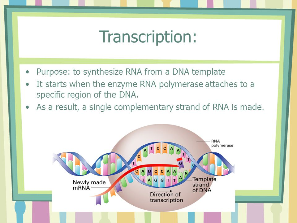 Transcription: Purpose: to synthesize RNA from a DNA template It starts when the enzyme RNA polymerase attaches to a specific region of the DNA.
