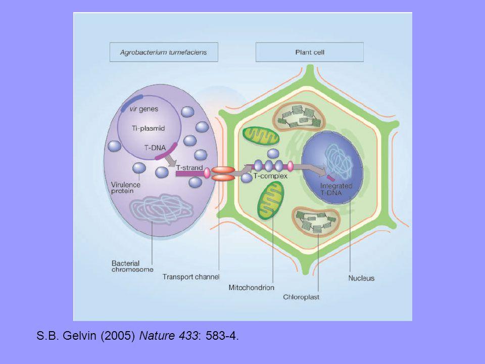 S.B. Gelvin (2005) Nature 433: 583-4.
