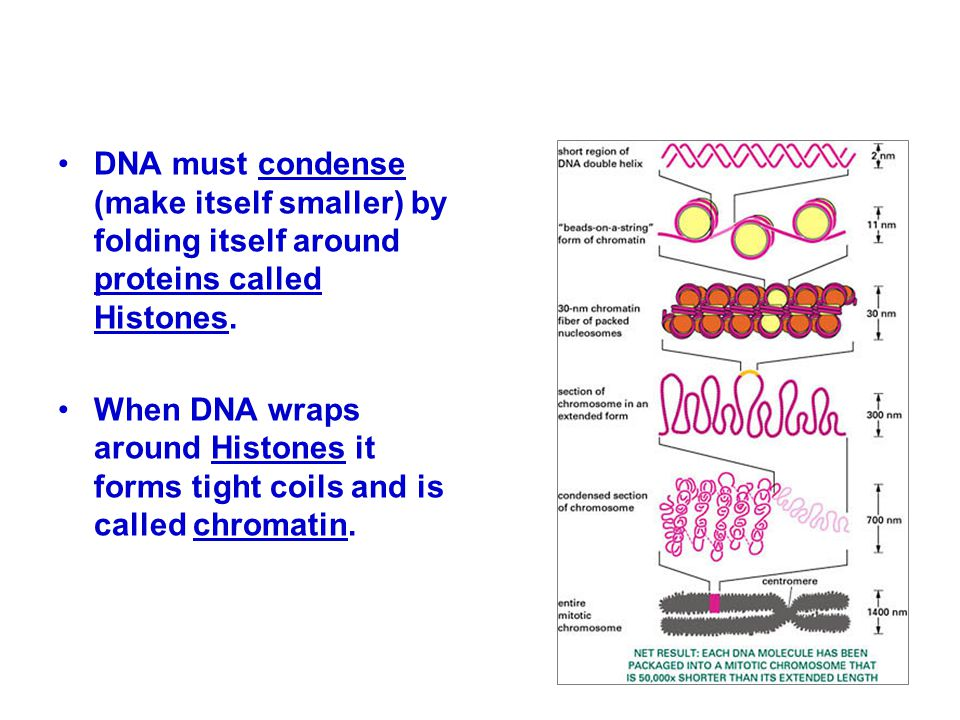 DNA must condense (make itself smaller) by folding itself around proteins called Histones. When DNA wraps around Histones it forms tight coils and is