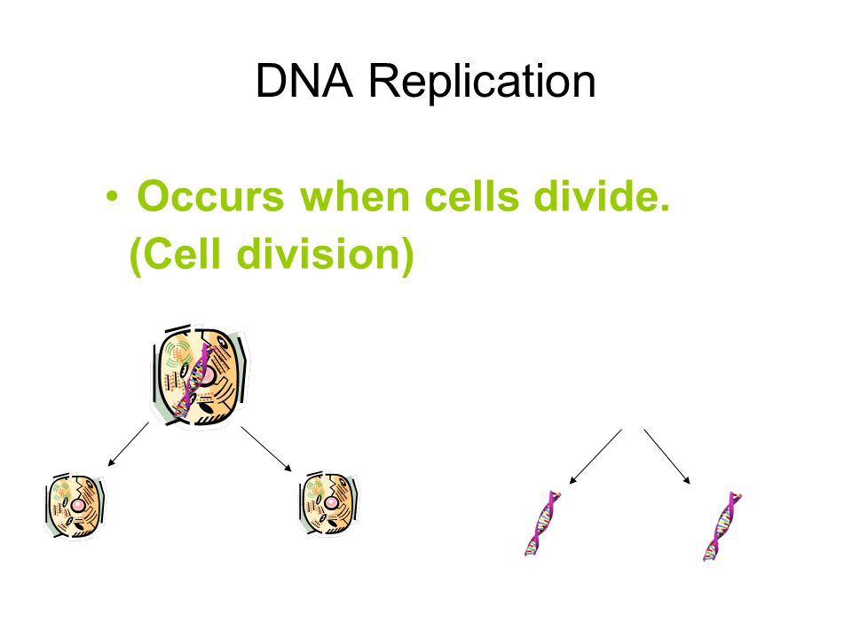 DNA Replication Occurs when cells divide. (Cell division)
