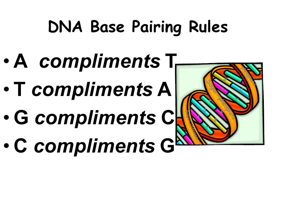 A compliments T T compliments A G compliments C C compliments G DNA Base Pairing Rules Sugar-phosp hate Sugar-phosph phosphate A T C G A T C G T A