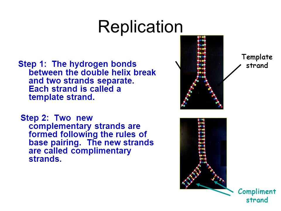 Replication Step 1: The hydrogen bonds between the double helix break and two strands separate. Each strand is called a template strand. Step 2: Two n
