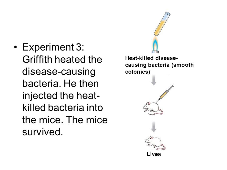 Experiment 3: Griffith heated the disease-causing bacteria. He then injected the heat- killed bacteria into the mice. The mice survived. Heat-killed d