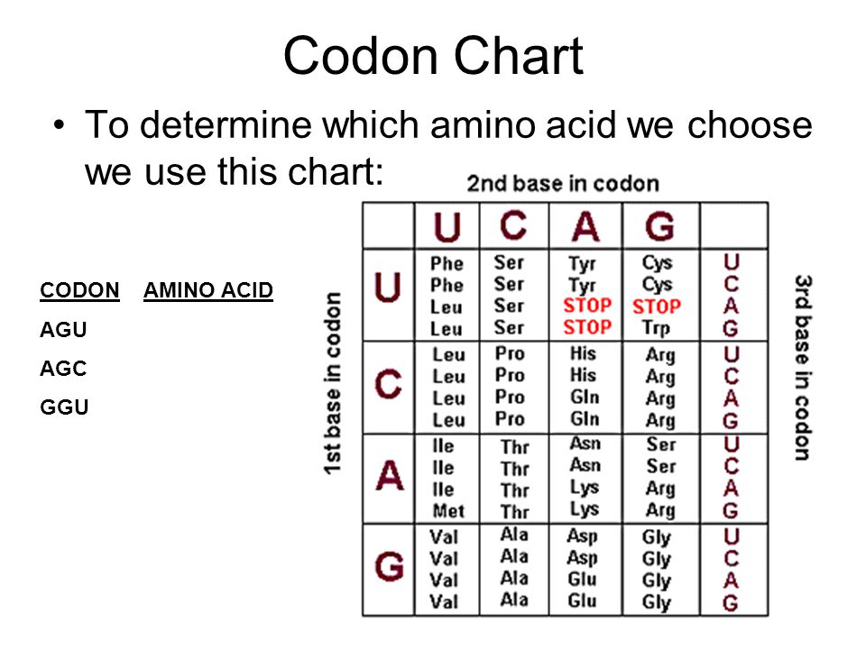 Codon Chart To determine which amino acid we choose we use this chart: CODON AMINO ACID AGU AGC GGU