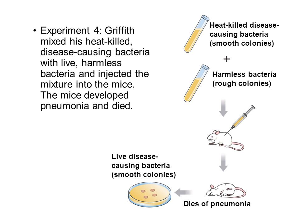 Experiment 4: Griffith mixed his heat-killed, disease-causing bacteria with live, harmless bacteria and injected the mixture into the mice. The mice d