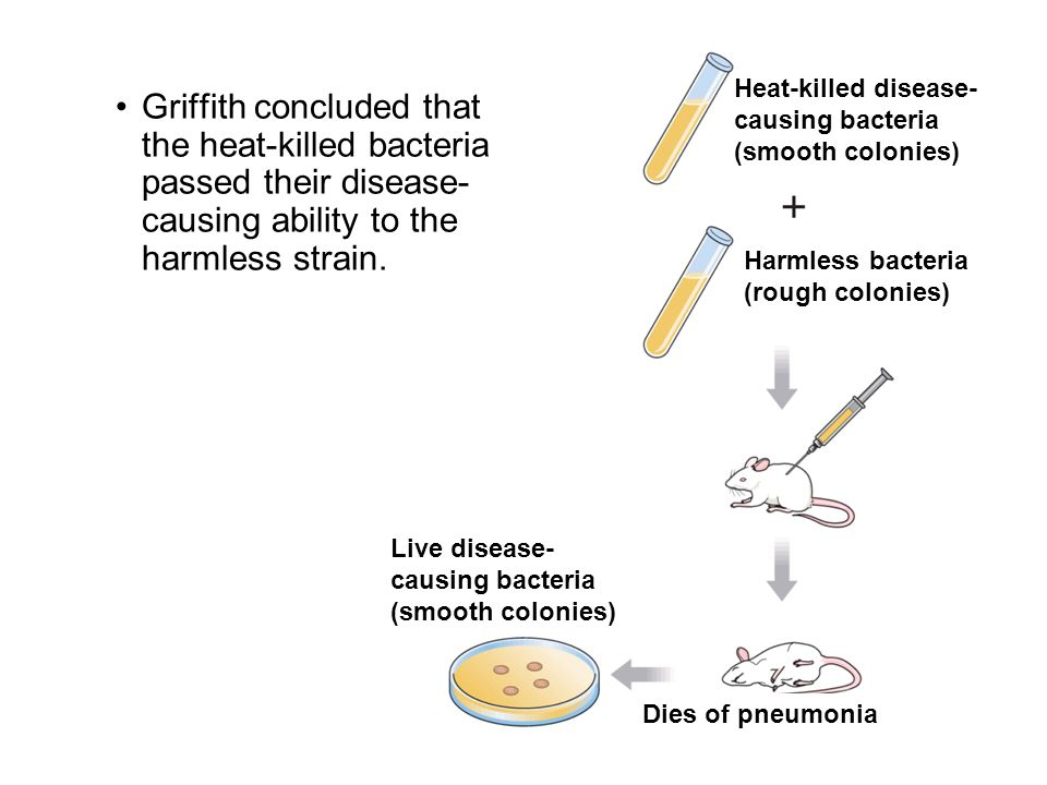 Griffith concluded that the heat-killed bacteria passed their disease- causing ability to the harmless strain. Live disease- causing bacteria (smooth