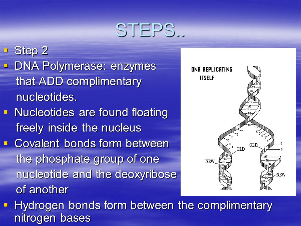 STEPS OF DNA REPLICATION  Step 1  Helicases: Enzymes that separate the DNA strands  Helicase move along the strands and breaks the hydrogen bonds b