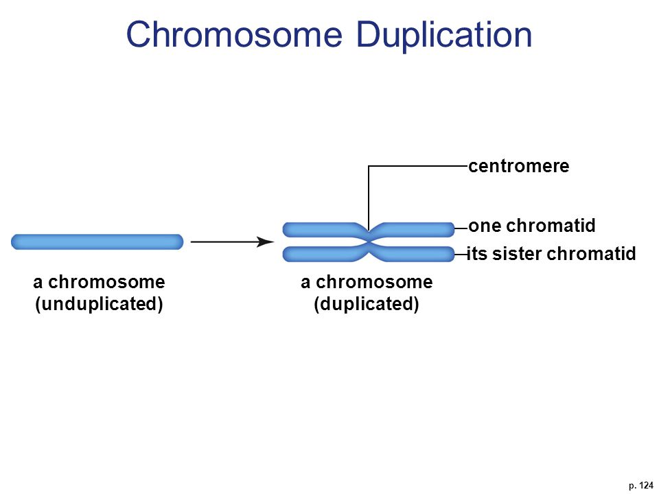 p. 124 a chromosome (duplicated) its sister chromatid centromere a chromosome (unduplicated) one chromatid Chromosome Duplication